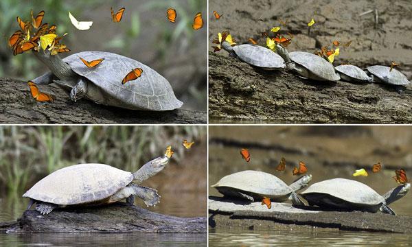 perierga.gr - Πεταλούδες γεύονται τα δάκρυα των χελωνών on camera!