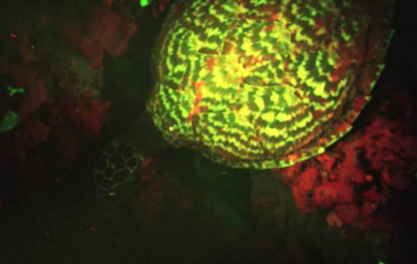 perierga.gr - Ανακαλύφθηκε χελώνα που... φωσφορίζει!