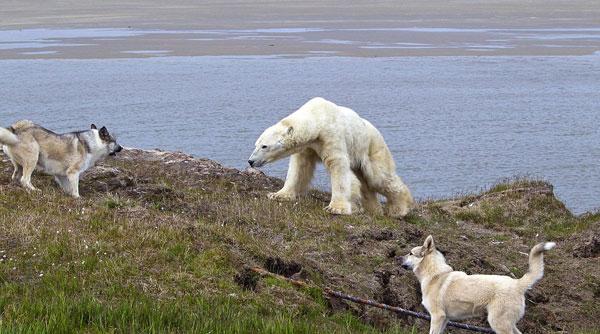 perierga.gr - Πολικές αρκούδες λιμοκτονούν εξαιτίας της κλιματικής αλλαγής!