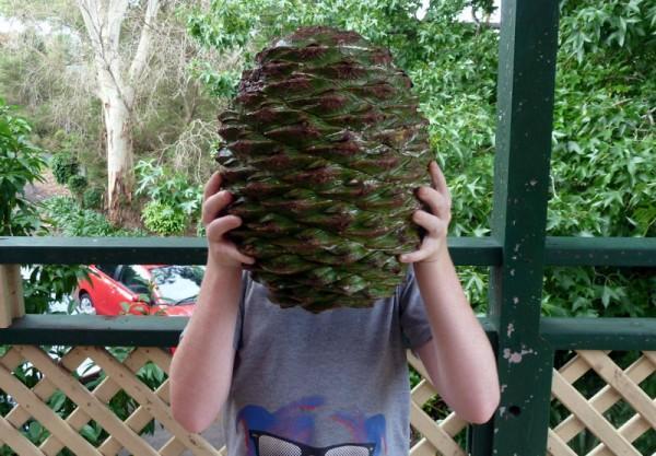 perierga.gr - Μήνυσε το πάρκο επειδή έπεσε τεράστιο κουκουνάρι στο κεφάλι του!