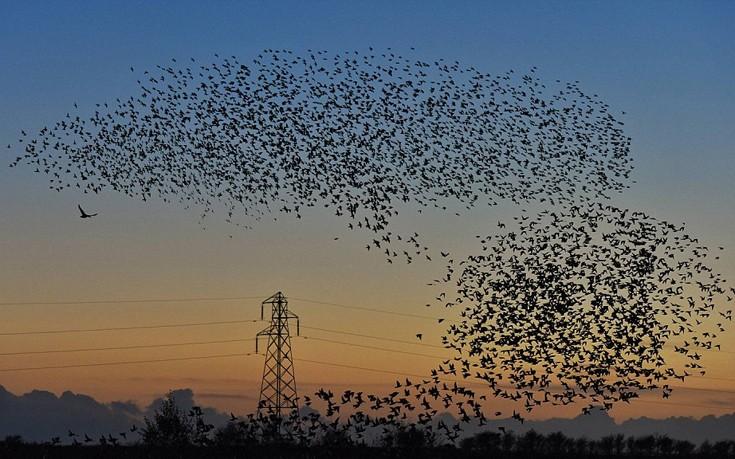 Perierga.gr - Σμήνη πουλιών «ζωγραφίζουν» τον ουρανό!