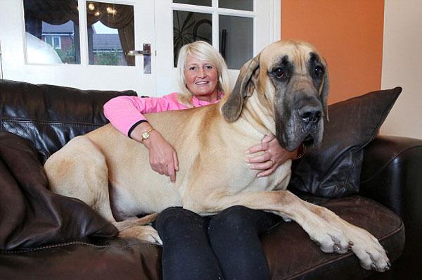 perierga.gr - Σκύλος 1.80 ύψος και 80 κιλών φοβάται και τη σκιά του!