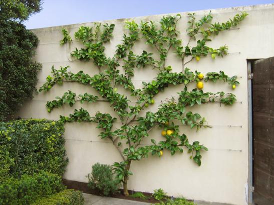 perierga.gr - Οπωροφόρα δέντρα ευδοκιμούν πάνω σε... τοίχους!
