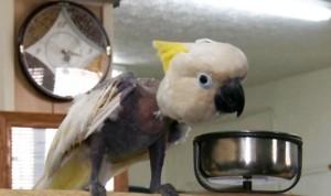 perierga.gr - Παπαγάλος έχασε τα φτερά του από... άγχος!