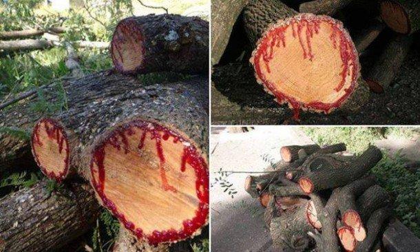 perierga.gr - Παράξενο δέντρο... ματώνει όταν κόβεται!