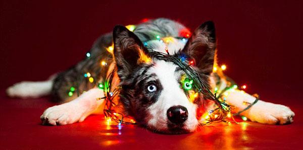 perierga.gr - Αξιολάτρευτα σκυλιά ποζάρουν... χριστουγεννιάτικα!