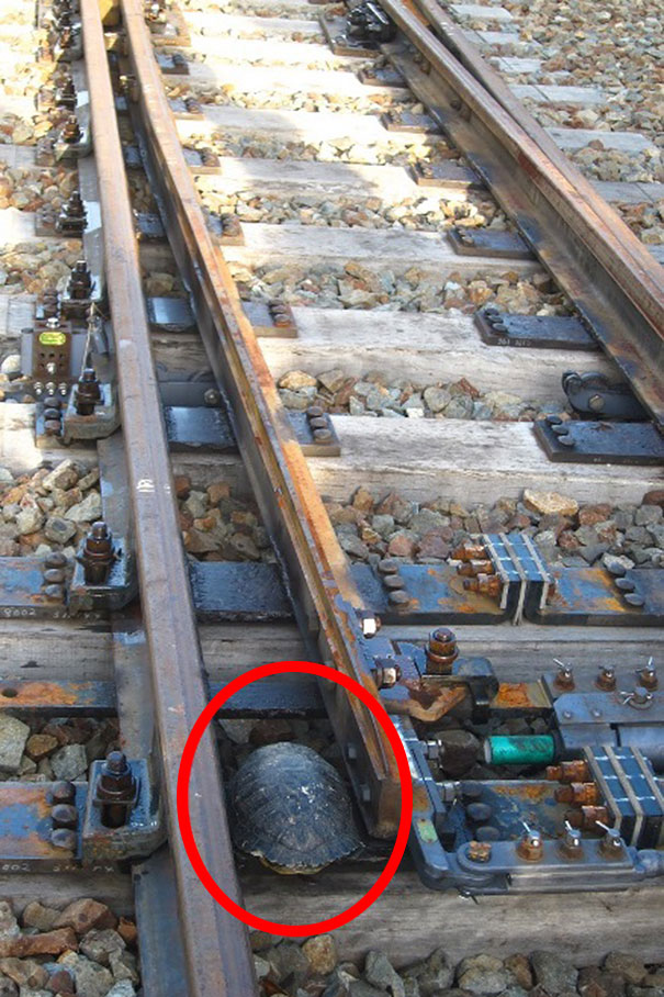 perierga.gr - Τούνελ για τις χελώνες στις ράγες των ιαπωνικών σιδηροδρόμων!