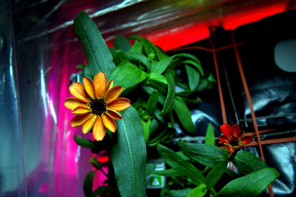 perierga.gr - Tα πρώτα λουλούδια άνθισαν στο Διάστημα!