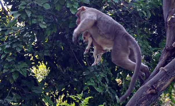 perierga.gr - Πίθηκος υιοθετεί κουτάβι!