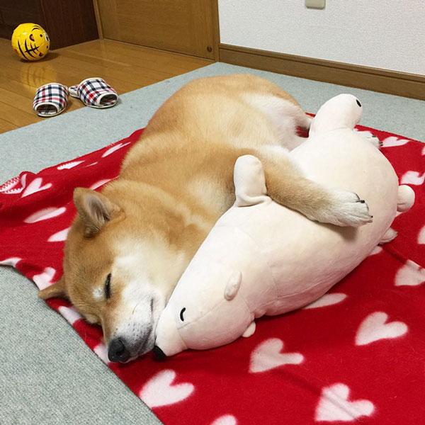 perierga.gr - Αυτός ο σκύλος κοιμάται όπως το αρκουδάκι του!