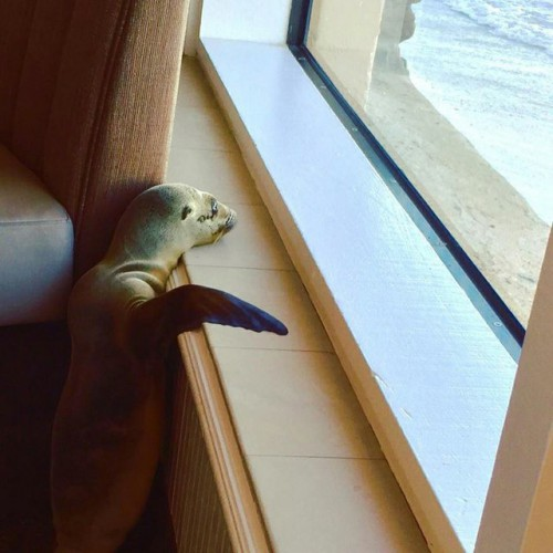 "perierga.gr - Θαλάσσιος λέων που λιμοκτονούσε ""τρύπωσε"" σε εστιατόριο των ΗΠΑ!"