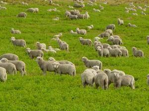perierga.gr - Εντυπωσιακό βίντεο με πρόβατα που... μαζεύονται στο μαντρί!