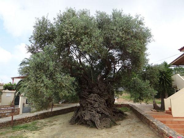 perierga.gr - Η αρχαιότερη ελιά του κόσμου!