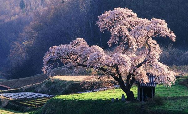 perierga.gr - Η εκπληκτική ομορφιά των ιαπωνικών κερασιών!
