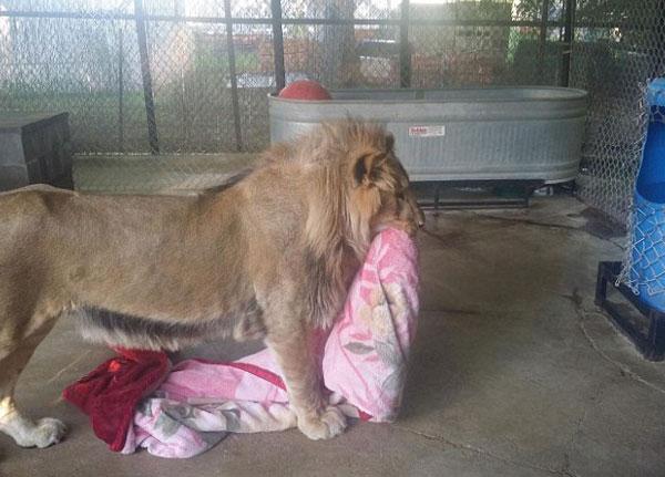 perierga.gr - Λιοντάρι δεν μπορεί να κοιμηθεί χωρίς κουβέρτα!