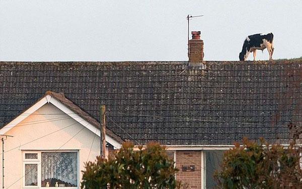 perierga.gr - Αγελάδες βόσκουν στην οροφή- η τέλεια οφθαλμαπάτη!