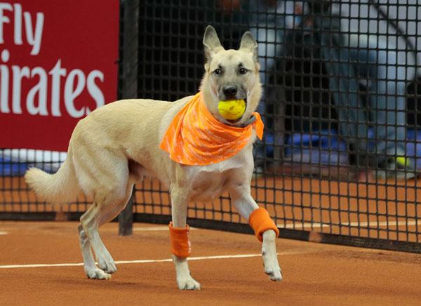 perierga.gr - Σκυλιά μαζεύουν τις μπάλες σε τουρνουά τένις!