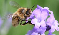 perierga.gr - Η κατανομή εργασίας της μέλισσας