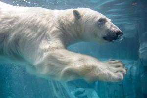 perierga.gr - Πολική αρκούδα μιμείται τα... push-ups επισκέπτη!
