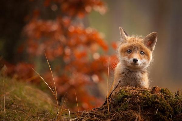 perierga.gr - Mωρά αλεπουδάκια στο φακό του φωτογράφου!