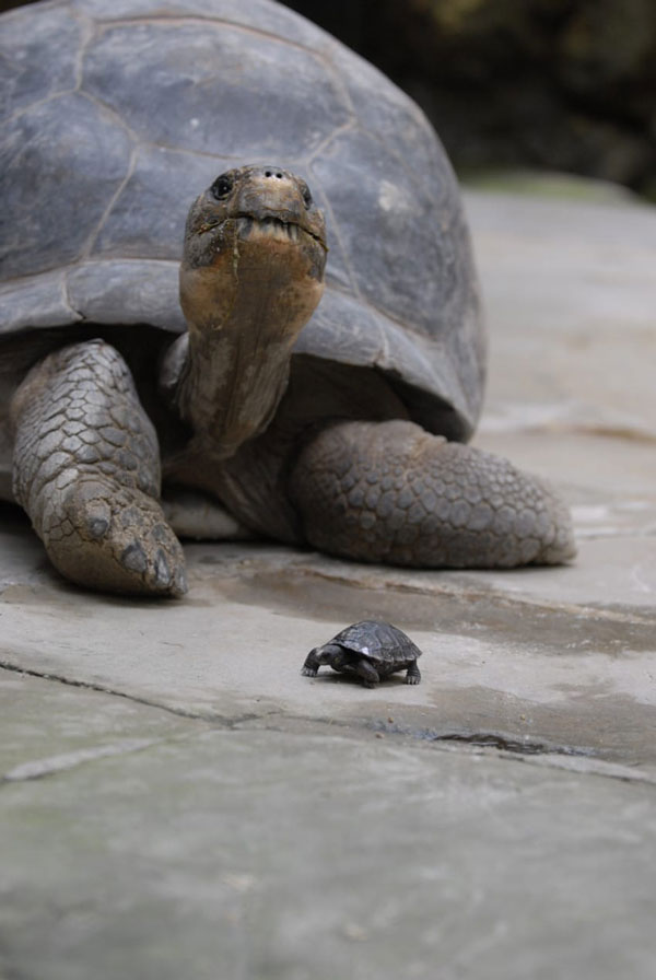 perierga.gr - 80χρονη χελώνα Γκαλαπάγκος γεννάει για πρώτη φορά!