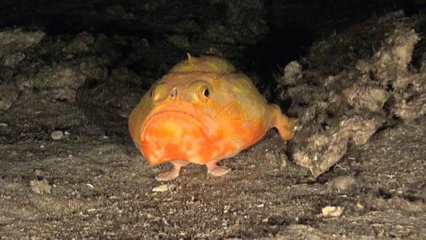 perierga.gr - Παράξενο ψάρι περπατά στο βυθό με τα πτερύγιά του!