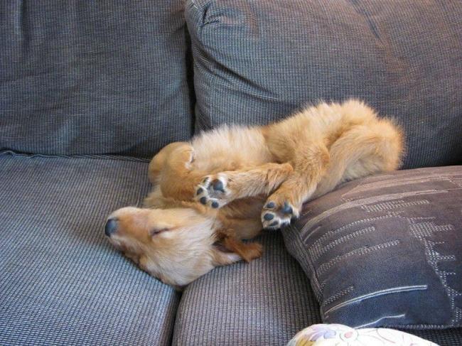 perierga.gr - Κουτάβια κοιμούνται σε απίθανες στάσεις... γιόγκα!