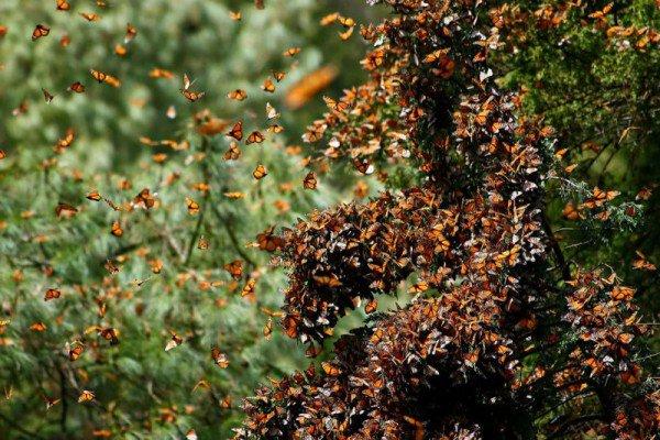 perierga.gr - Το υπέροχο δάσος των πεταλούδων στο Μεξικό!