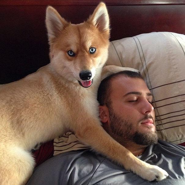perierga.gr - Πανέμορφος σκύλος μοιάζει με αλεπού!
