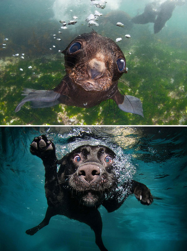 perierga.gr - Οι φώκιες είναι τα... κουτάβια του ωκεανού!