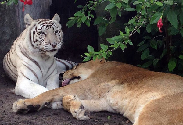 perierga.gr - Iσχυρός δεσμός μεταξύ λευκής τίγρης και λιονταριού!