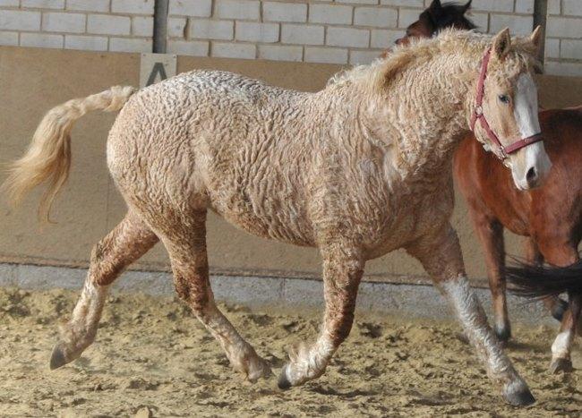 perierga.gr - Παράξενα άλογα με... μπούκλες!