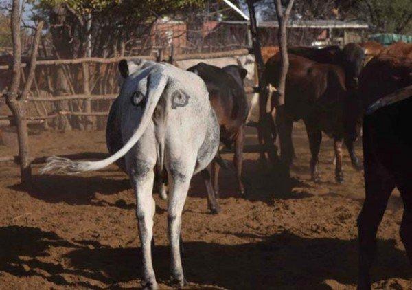 perierga.gr - Eπιστήμονες ζωγράφισαν μάτια στα οπίσθια αγελάδων για προστασία από τα λιοντάρια!