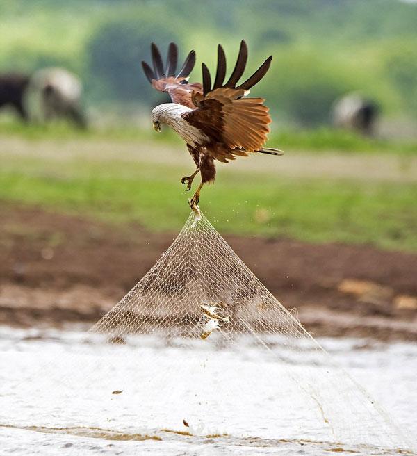 perierga.gr - Αετός... κλέβει το δίχτυ ψαρά γεμάτο ψάρια!
