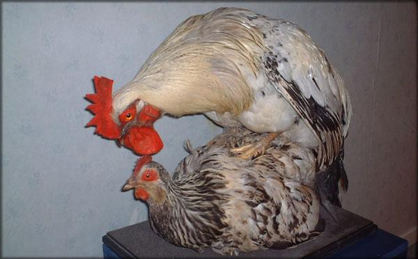 perierga.gr - Πώς ζευγαρώνουν οι κότες;