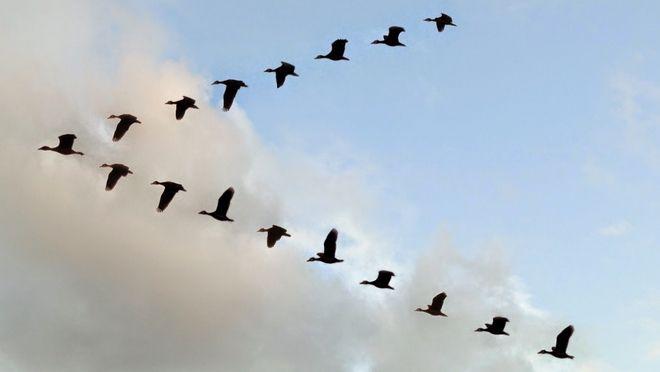perierga.gr - Κι όμως τα πουλιά μπορούν να πετάνε κοιμισμένα!