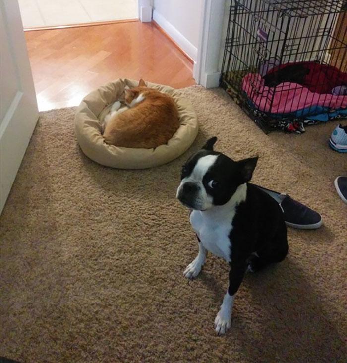 b1a58183305c perierga.gr - Γάτες έδιωξαν τους σκύλους από τα κρεβάτια τους!