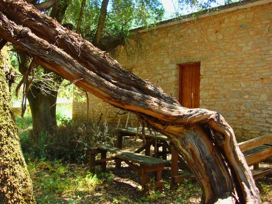 perierga.gr - Το αρχαιότερο κλήμα στον κόσμο!