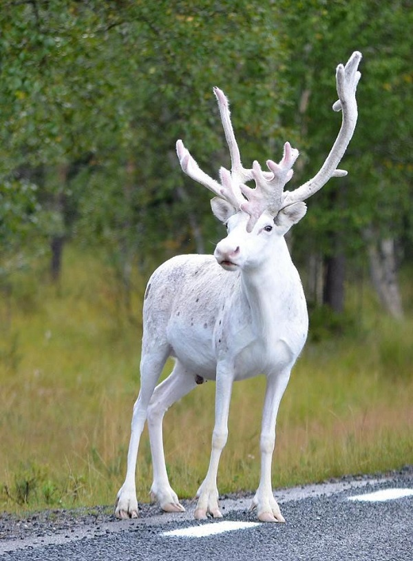 perierga.gr - Σπάνιος λευκός τάρανδος εμφανίστηκε στη Σουηδία!