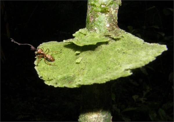 perierga.gr - Μανιτάρι ευδοκιμεί... σε έντομα!
