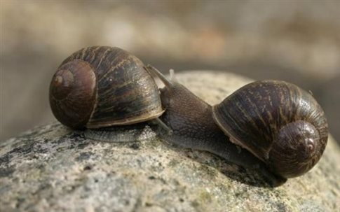 perierga.gr - Επιχείρηση προξενιό για μοναχικό σαλιγκάρι!