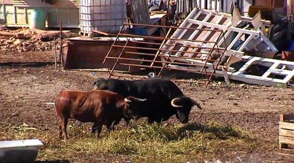 perierga.gr - Ιδιοκτήτης επιχείρησης αντικατέστησε σκύλους-φύλακες... με ταύρους!