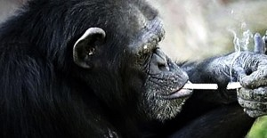 perierga.gr - Χιμπατζής καπνίζει... 1 πακέτο τσιγάρα τη μέρα!