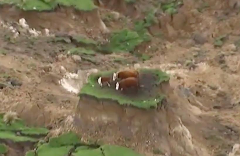 Perierga.gr - Αγελάδες επιβιώνουν από σεισμό σε νησίδα γης
