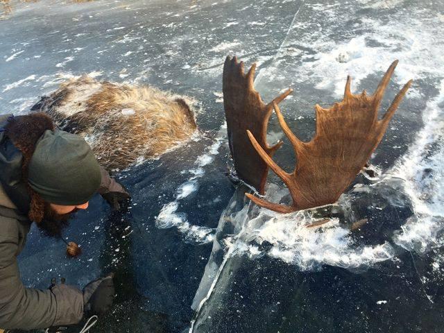 perierga.gr - Παγωμένα ελάφια σε ποτάμι στην Αλάσκα!