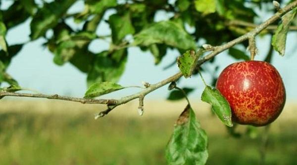 "perierga.gr - Η ιστορική μηλιά του Νεύτωνα θα δώσει 30 ""απογόνους""!"