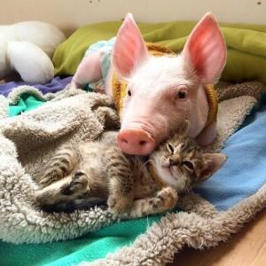 perierga.gr - Το πιο γλυκό βίντεο της μέρας: Γάτα και γουρουνάκι δίνουν μάθημα φιλίας!