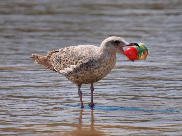 Γιατί τα πουλιά γεμίζουν την κοιλιά τους με πλαστικά των θαλασσών!