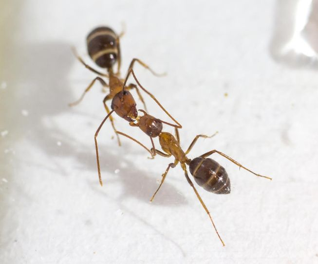 perierga.gre - Τα μυρμήγκια επικοινωνούν με ένα "φιλί"!