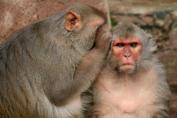 perierga.gr - Γιατί οι πίθηκοι δεν μιλάνε;